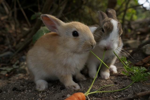 うさぎの食べ物は野菜と果物だけ?うさぎが食べていい野菜量や果物量とは?